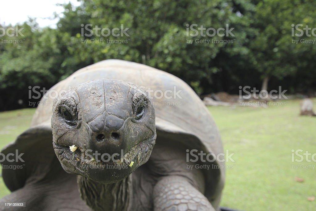 Close-up Aldabra Giant Tortoise, Aldabrachelys gigantea, Seychelles royalty-free stock photo