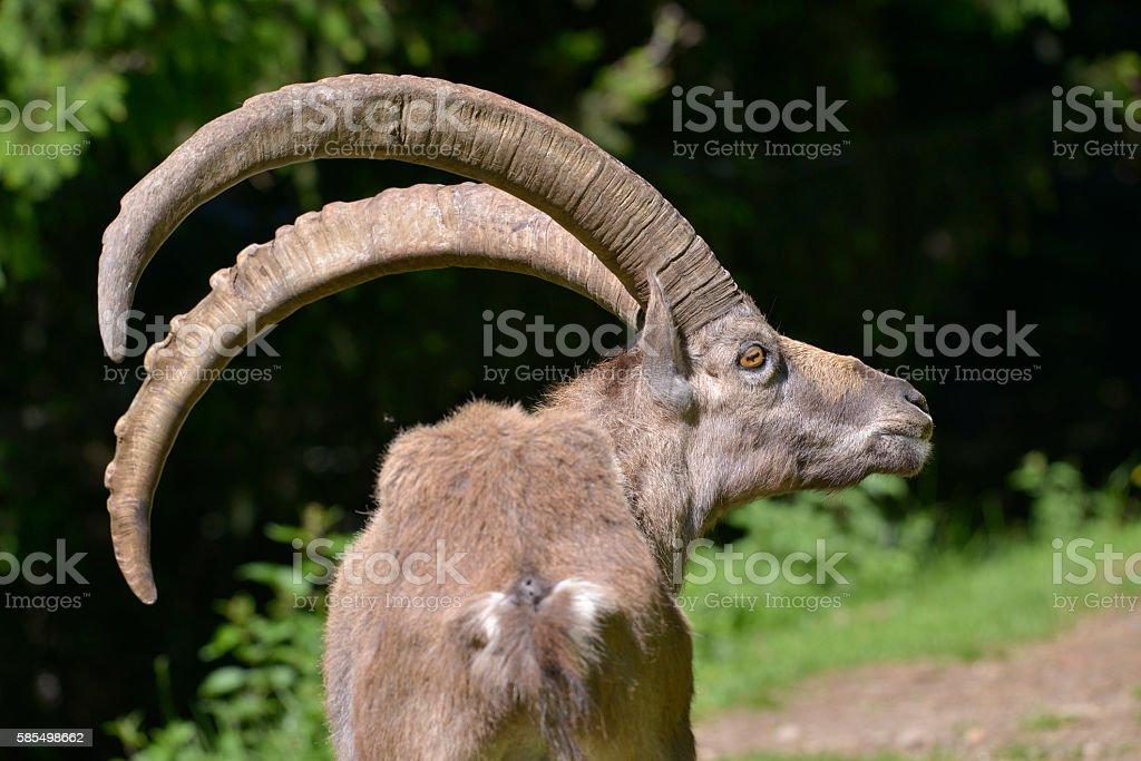 Closeup Alpine ibex stock photo
