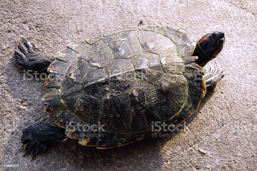 Closeup asian turtle walking on the ground stock photo