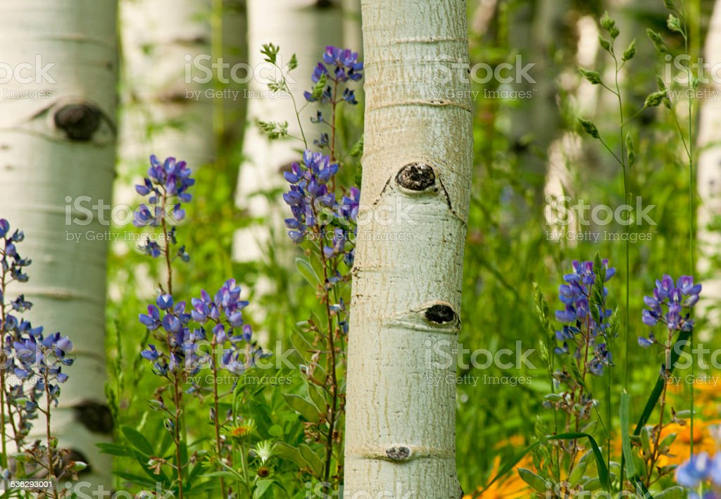 Close-up Aspen Trees among Lupine and Sunflowers. stock photo