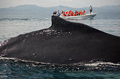 Closeup back of humpback whale and tourist boat in Samana,