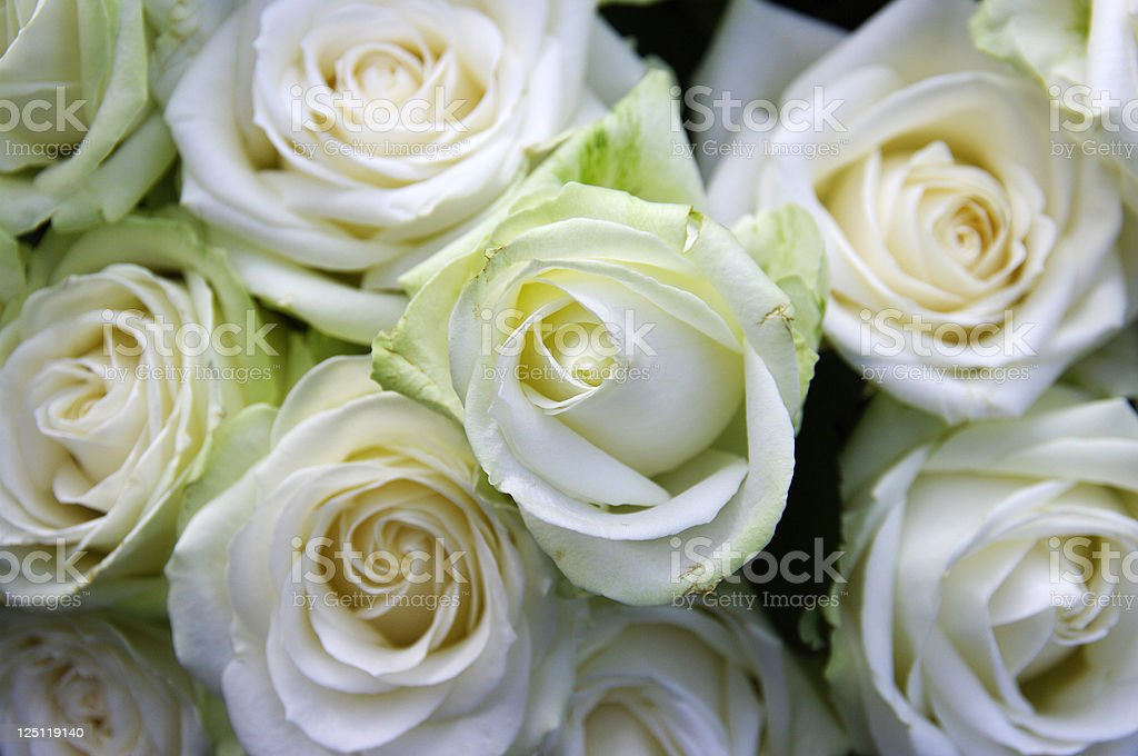 Close-up background of white roses royalty-free stock photo