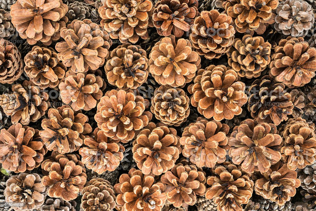 Closeup background texture photo of dried pine cones stock photo