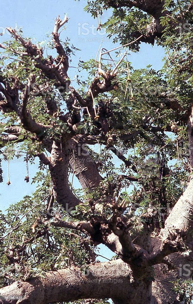 Closeup Baobab Tree branches and leaves Sahel West Africa stock photo