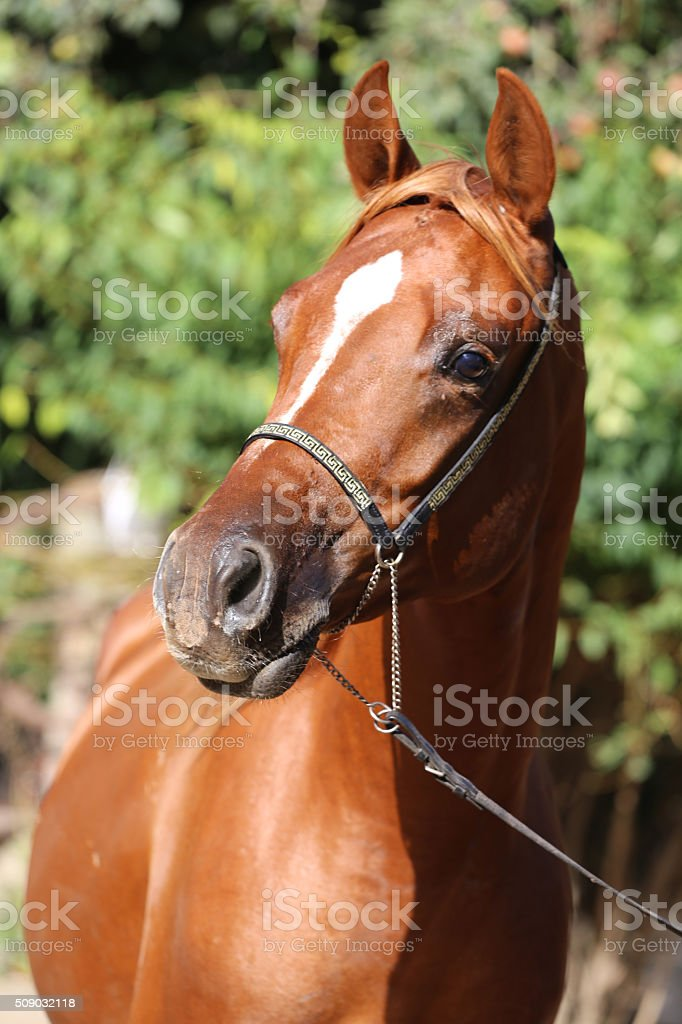 Close-up beautiful arabian horse head on natural background stock photo