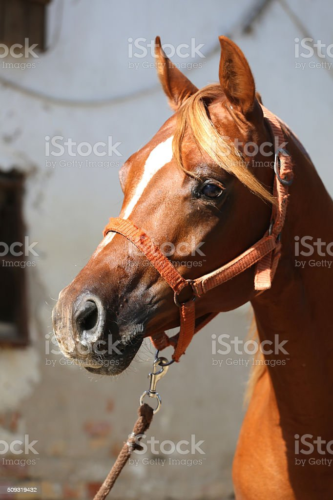Close-up beautiful arabian horse head on white background stock photo