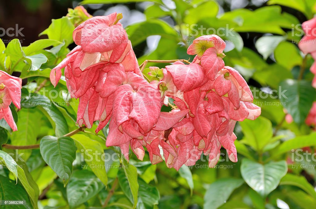 Closeup Beautiful pink Mussaenda flower stock photo