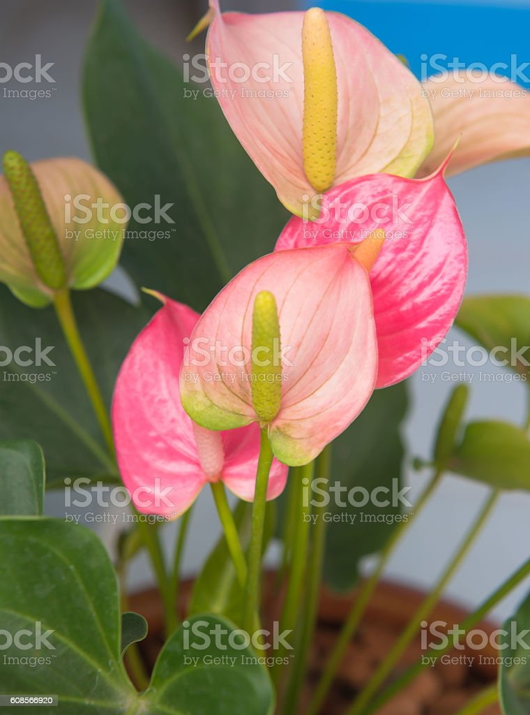 Closeup beautiful red spadix flower for pattern and background. stock photo