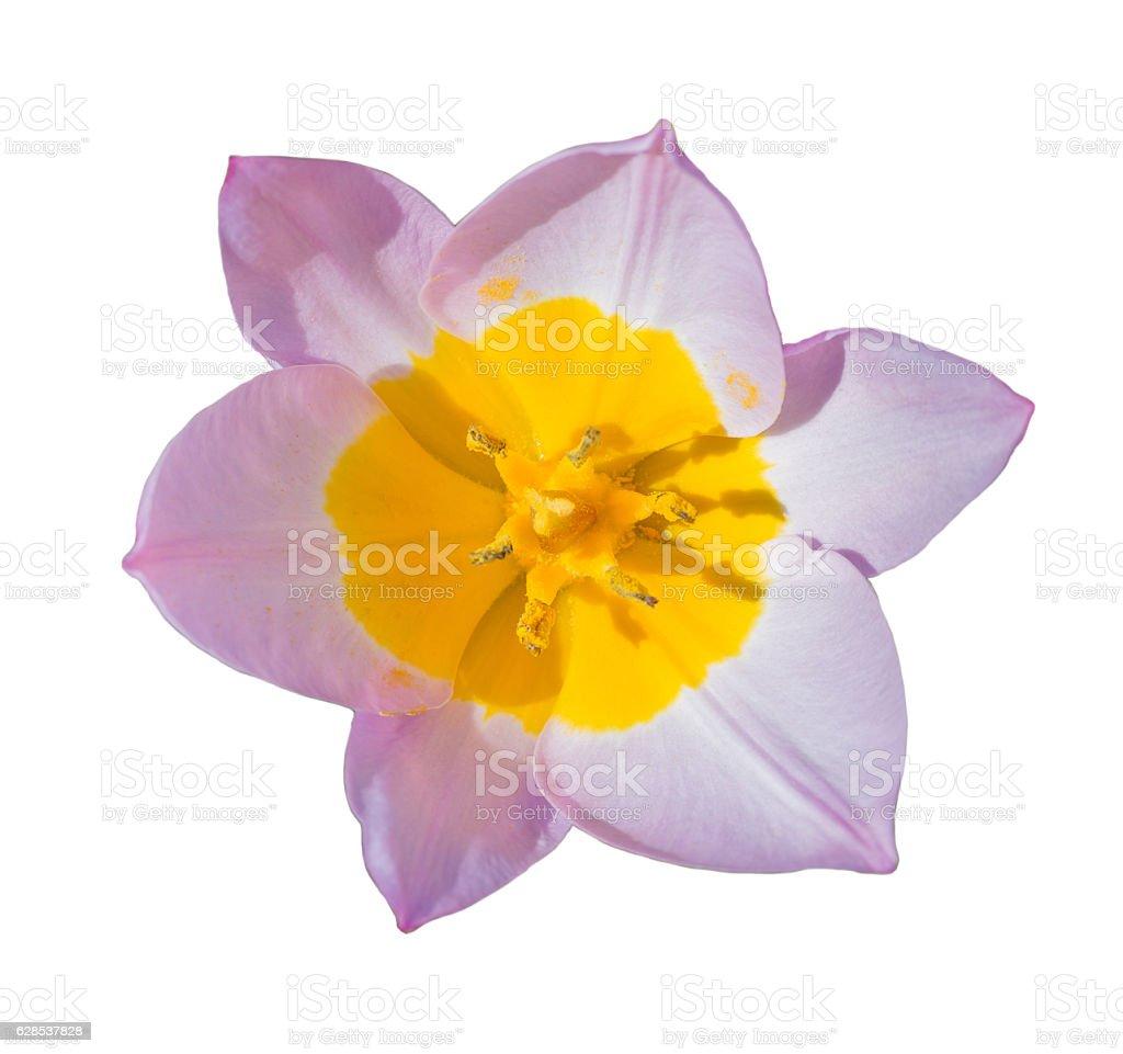 Close-up beautiful Tulip flower isolated on white stock photo