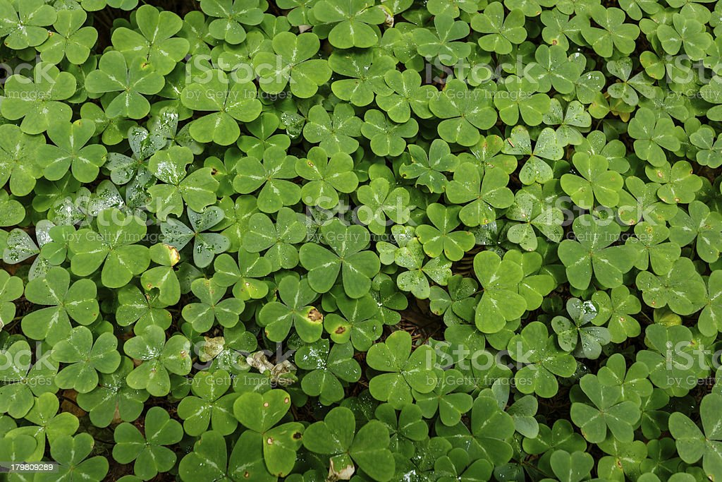 Close-up bed of red sorrel leaves royalty-free stock photo