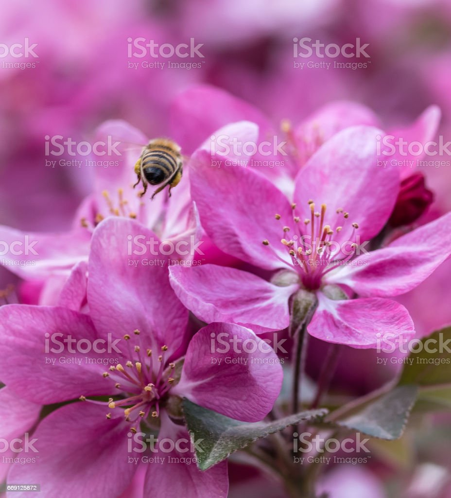 close-up bee flying on purple blossoms - spring stock photo