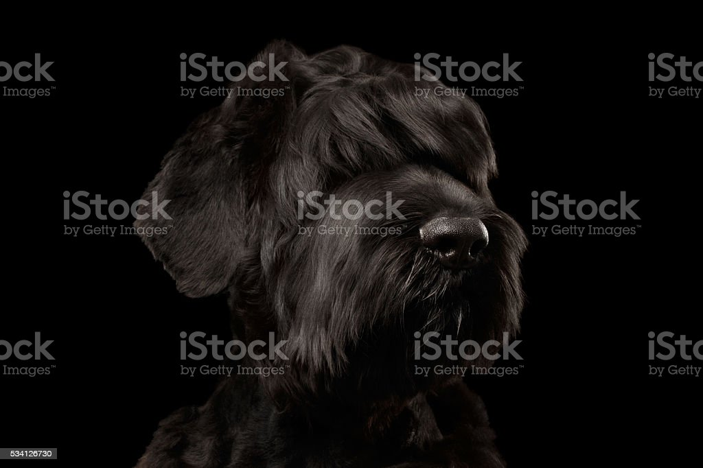 Closeup Big Russian Black Terrier Dog Looking in Camera,  Isolated stock photo