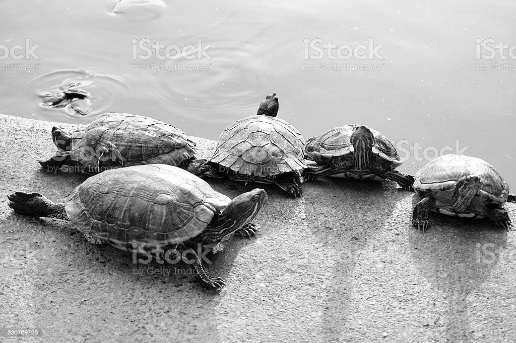 Closeup black and white asian turtle walking on the ground stock photo