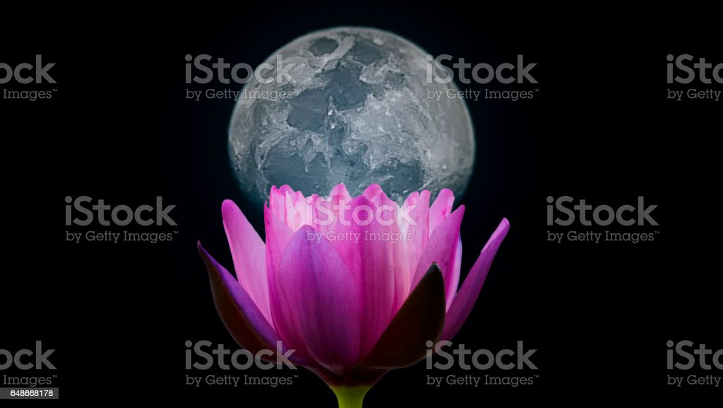 Closeup blooming waterlily or lotus flower isolated in black background with moon. stock photo