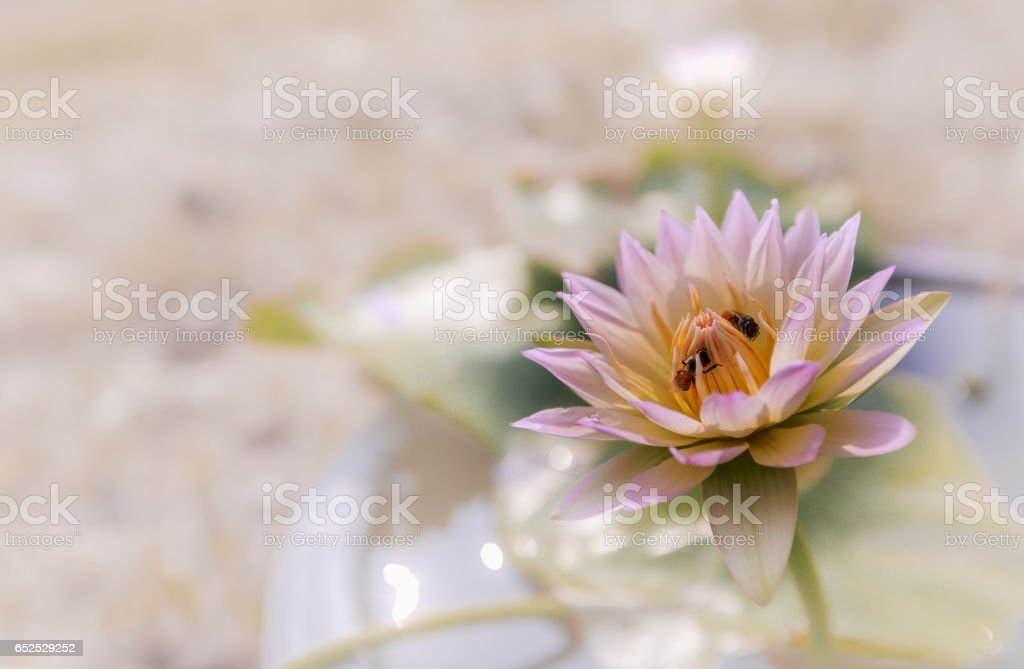 Closeup blooming waterlily or lotus flower on blur background. stock photo