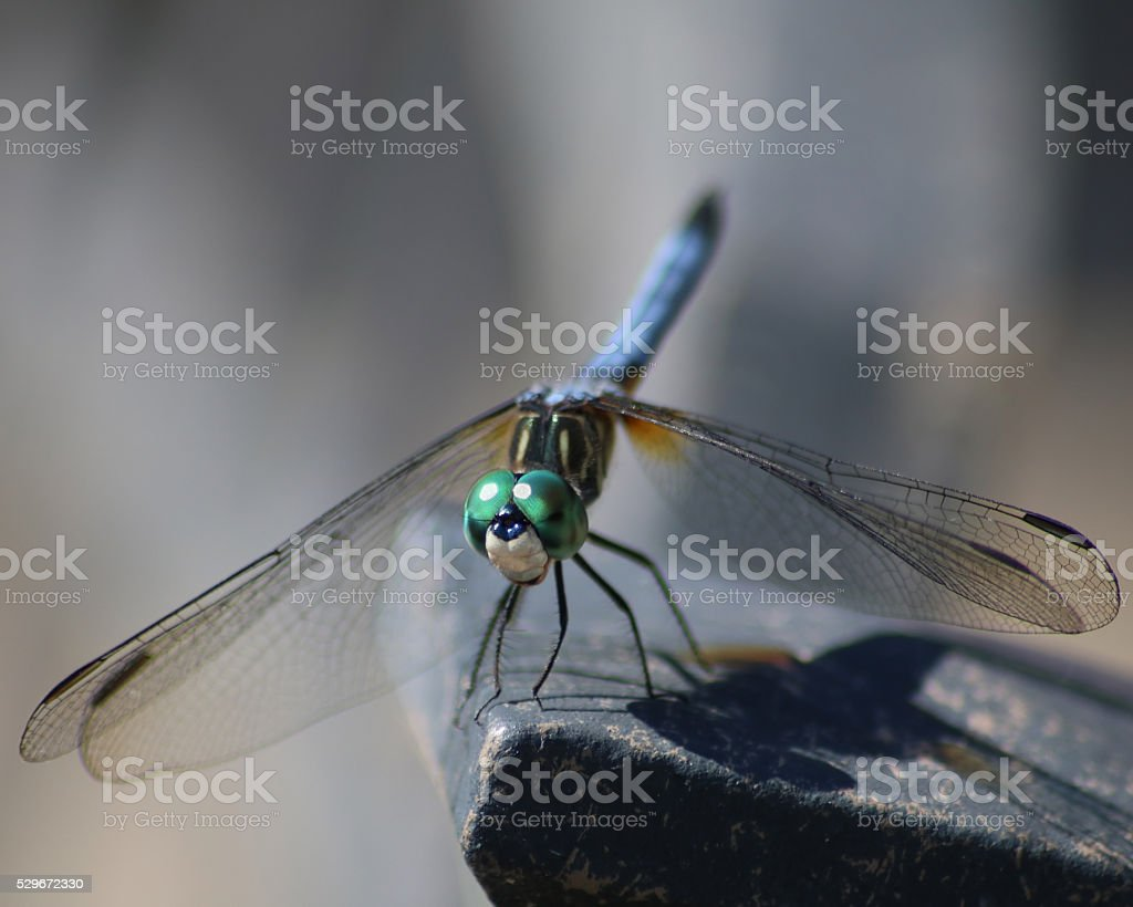 libellule de Dasher Bleu gros bec-en-ciseaux photo libre de droits
