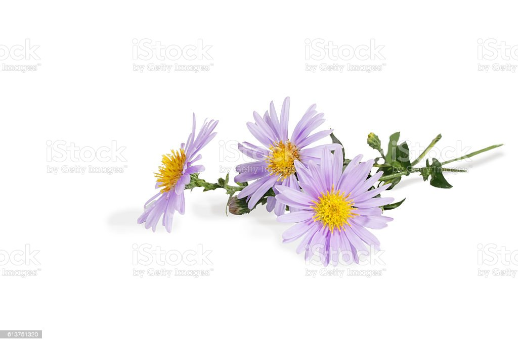 closeup bouquet of Michaelmas daisies isolated on white stock photo