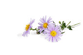 closeup bouquet of Michaelmas daisies isolated on white