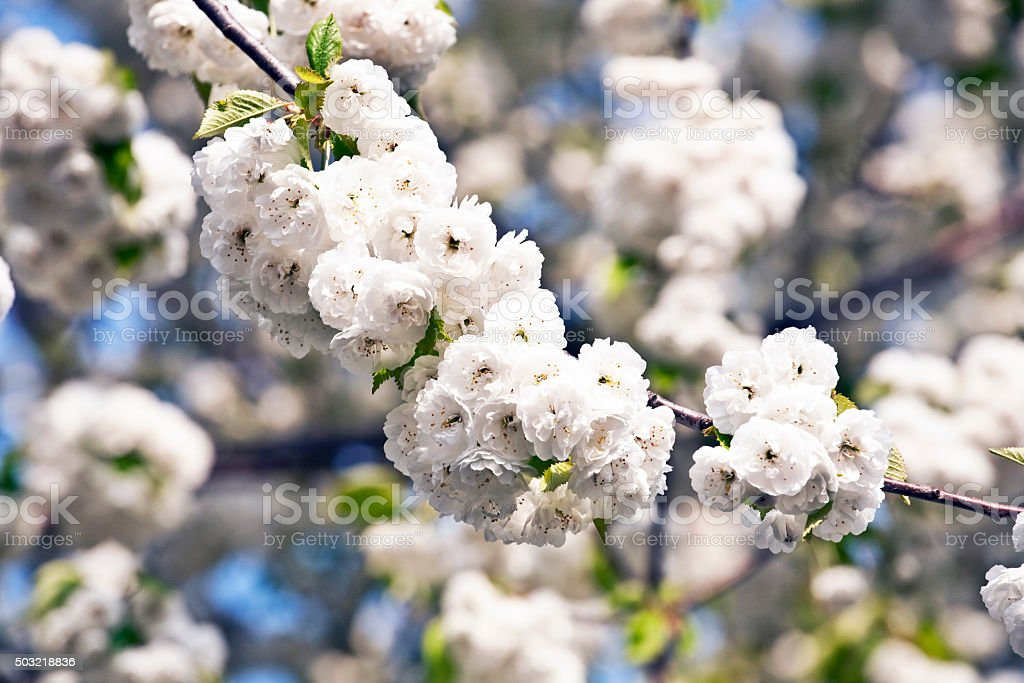 Close-up branch of bloom in spring stock photo