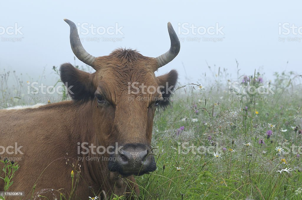 Close-up brown cow in misty field royalty-free stock photo