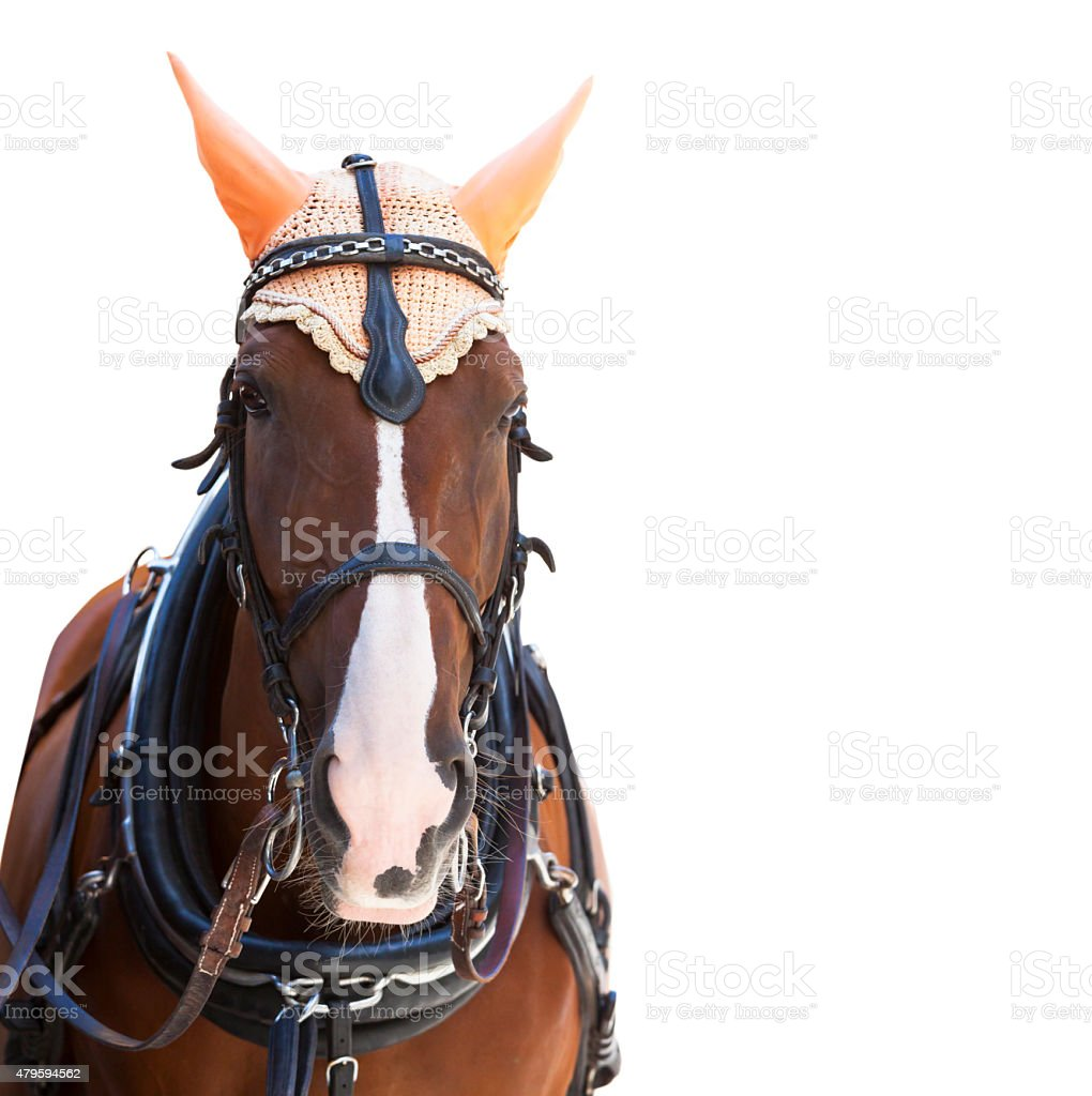 Closeup brown horse with decorative harness. white background, copy space stock photo