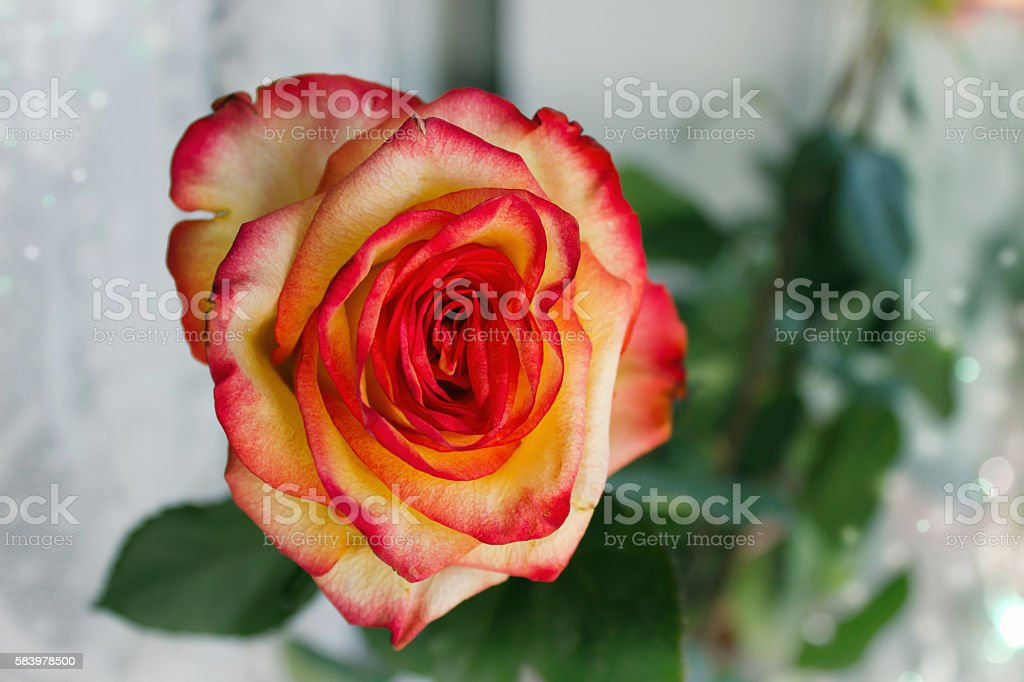 Close-up bud of the red with yellow rose stock photo