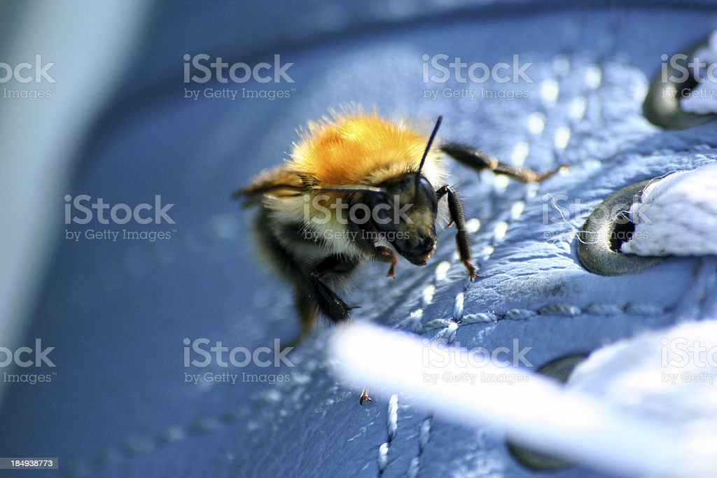 Close-up bumblebee on blue boot. stock photo