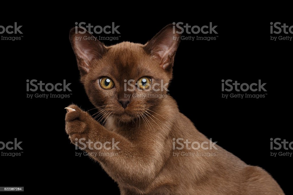 Closeup Burmese kitten showing claw on Raised paw, black Isolated stock photo