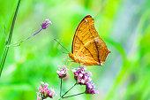 Closeup butterfly on flower, The Cruiser