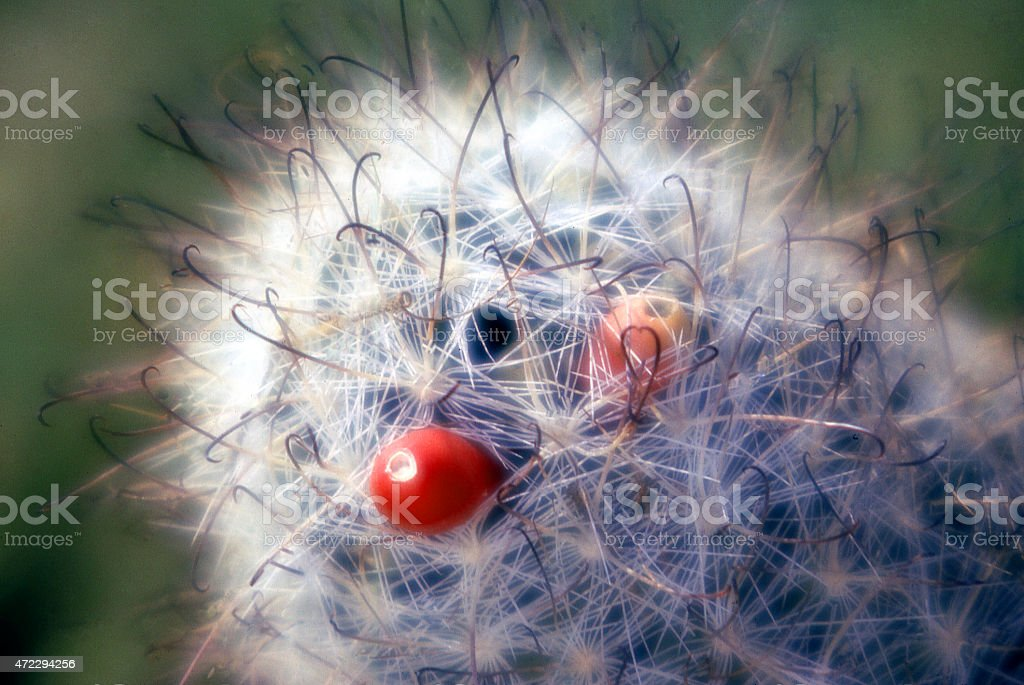 Closeup Cactus Fruit Thorns Anza Borrego Park Imperial Valley California stock photo