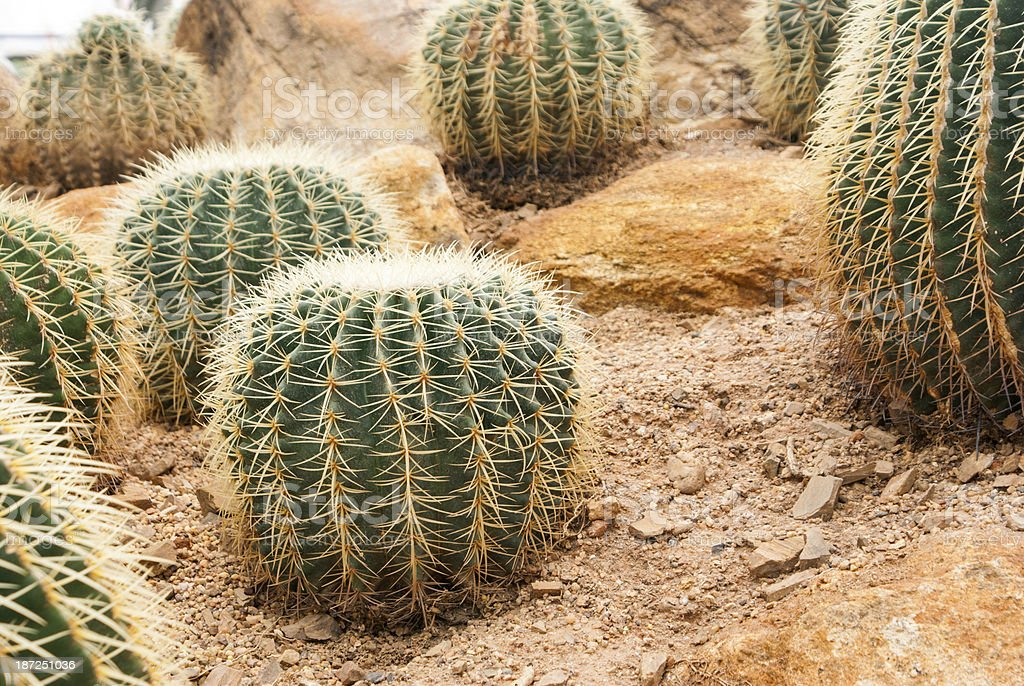 Closeup Cactus live in Desert stock photo