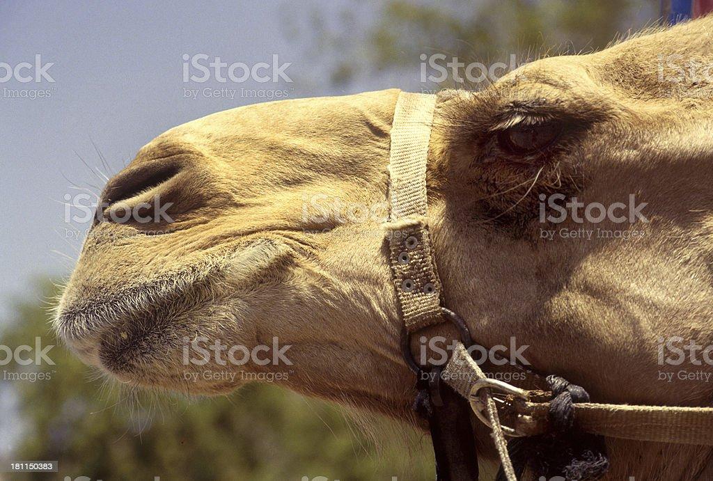 Close-up camel face stock photo