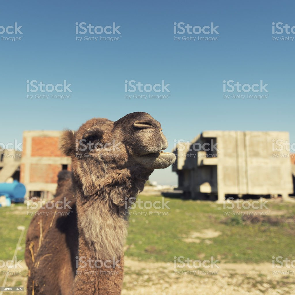 Close-Up Camel royalty-free stock photo