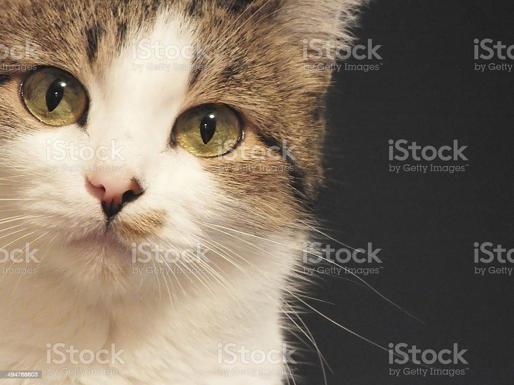 Close-up Cat portrait royalty-free stock photo