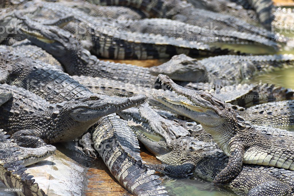 Closeup chapters of the crocodiles. stock photo