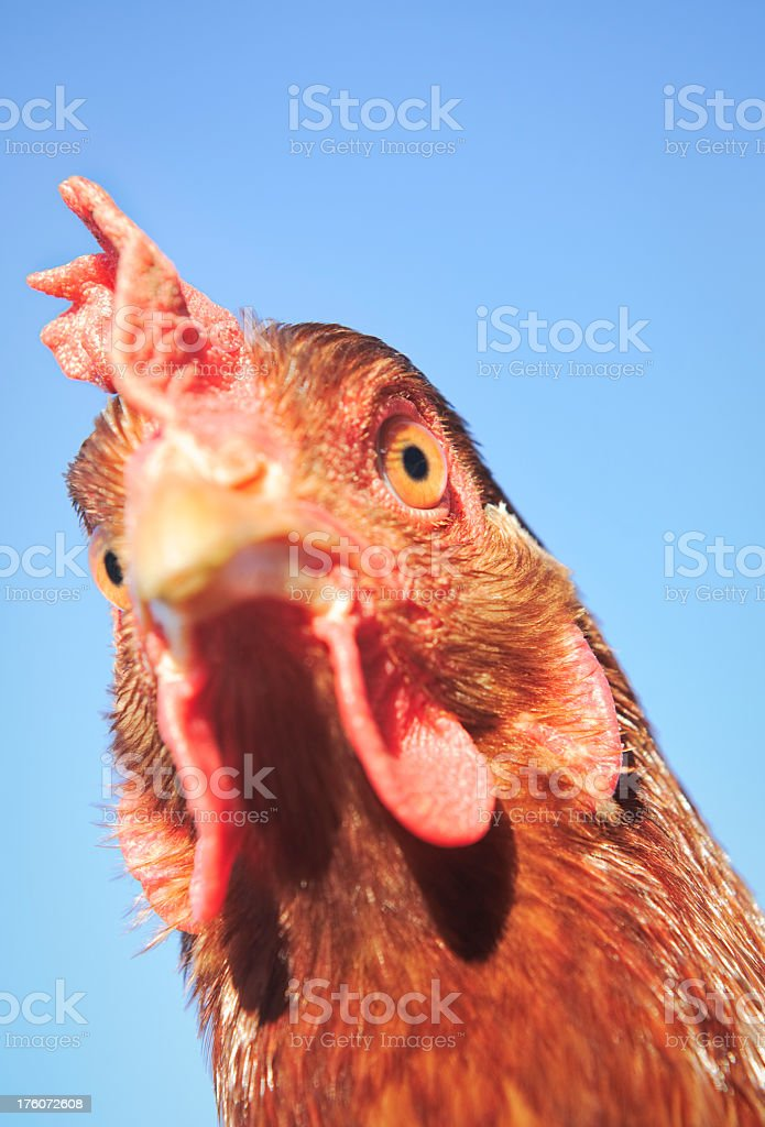 Close-Up Chicken Headshot stock photo