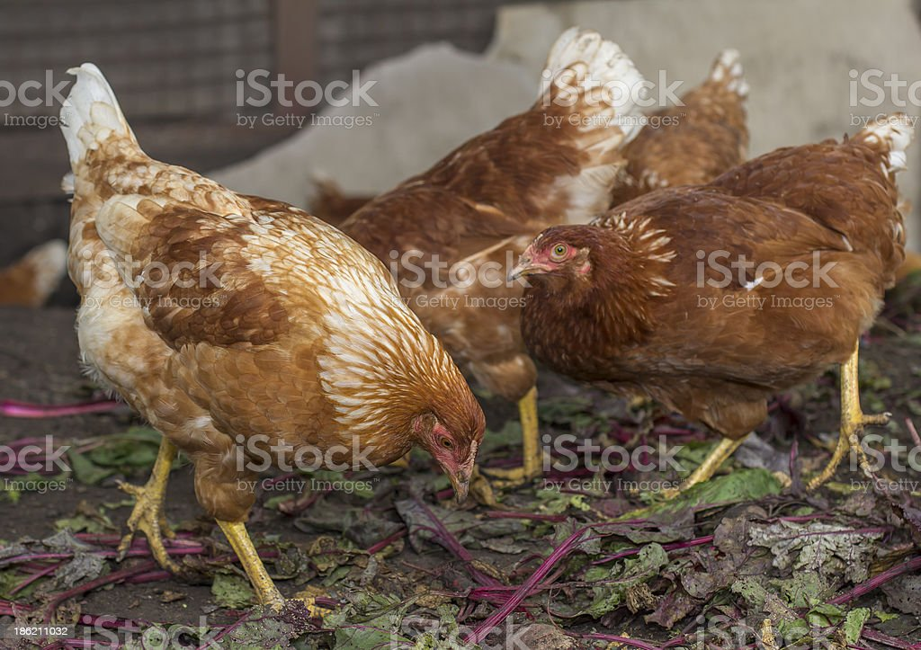 Close-up chickens' life: pecking leaves stock photo