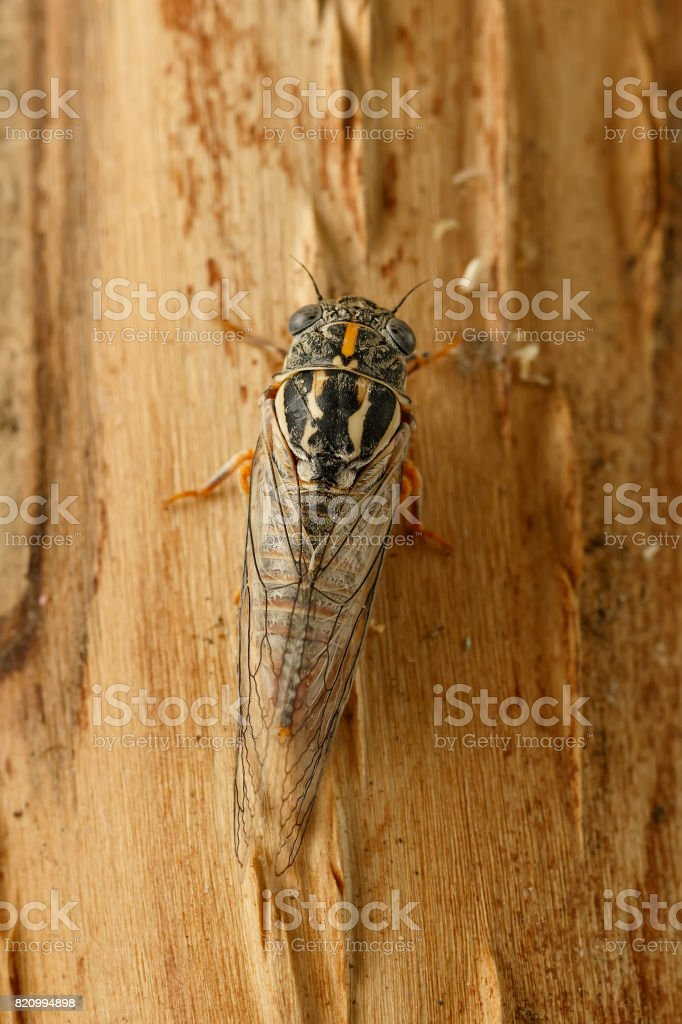 Closeup cicada Euryphara, known as european Cicada, crawling on the tree bark. Top view. Vertical composition stock photo