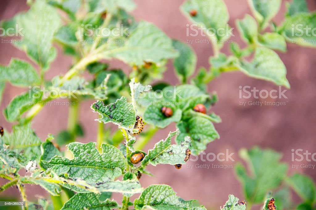 close-up Colorado potato beetle and larvae on the green stock photo