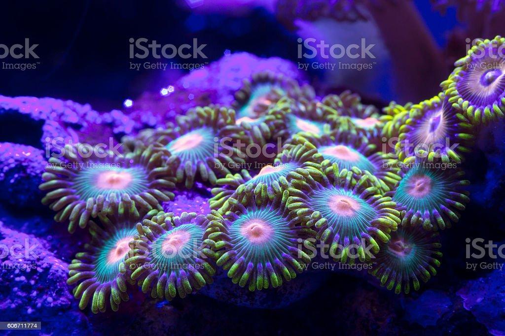 Closeup colorful coral in aquarium reef tank stock photo
