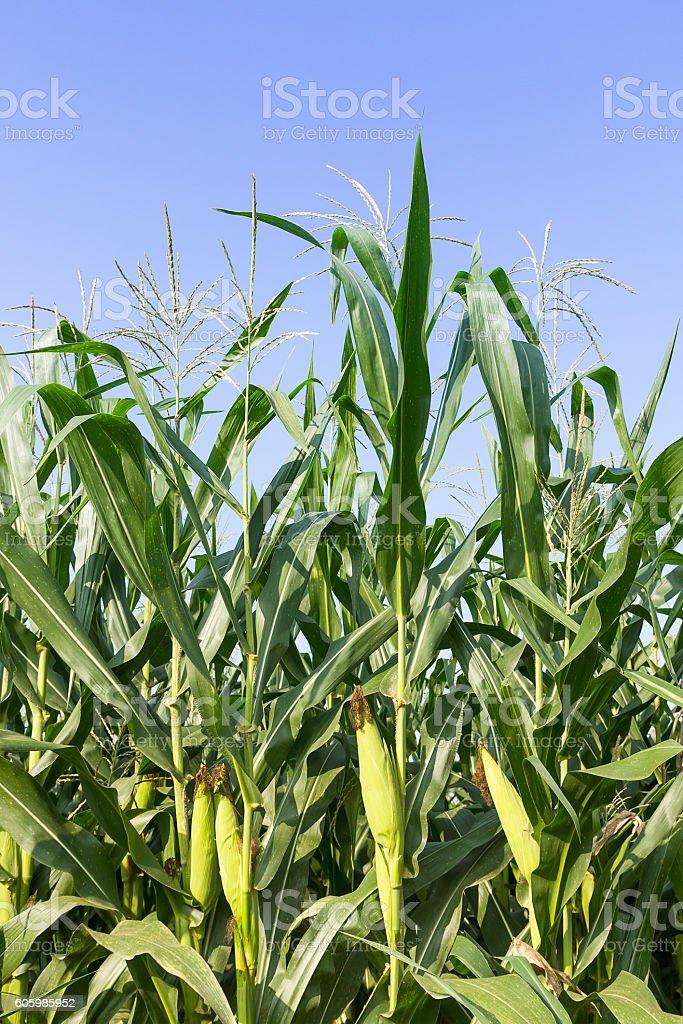 Closeup Corn on the stalk stock photo