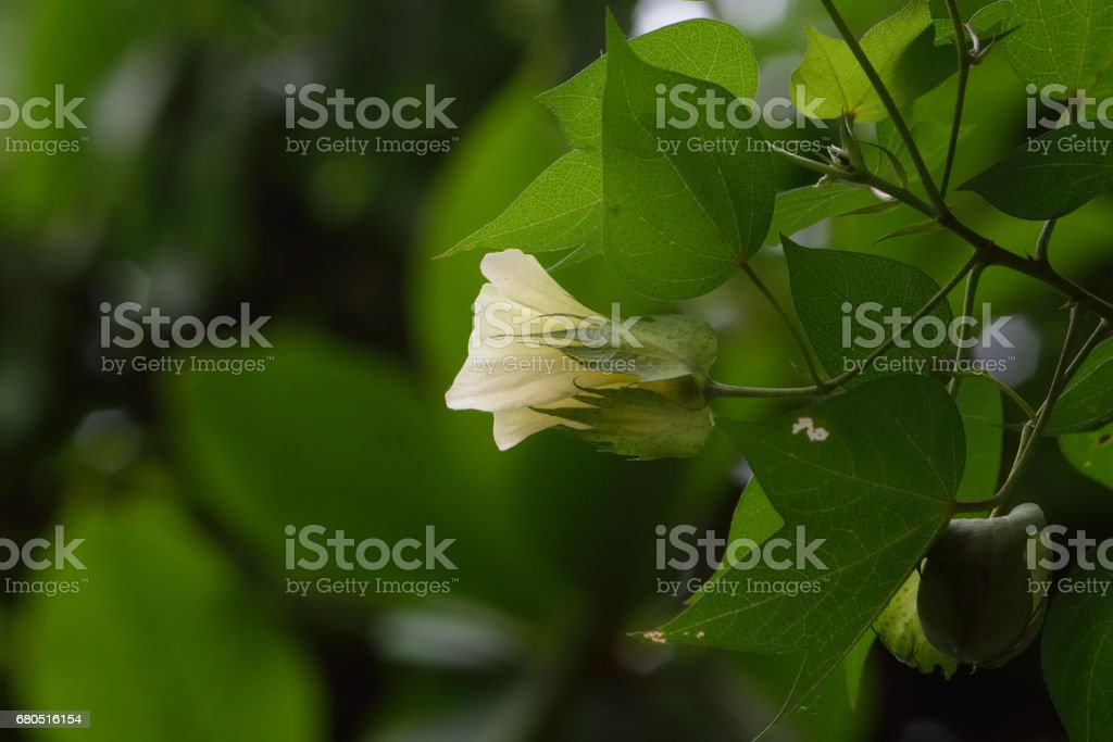 closeup cotton flowers plant blossom in the field stock photo