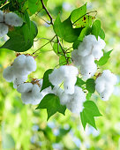 closeup cotton seeds plant in the field