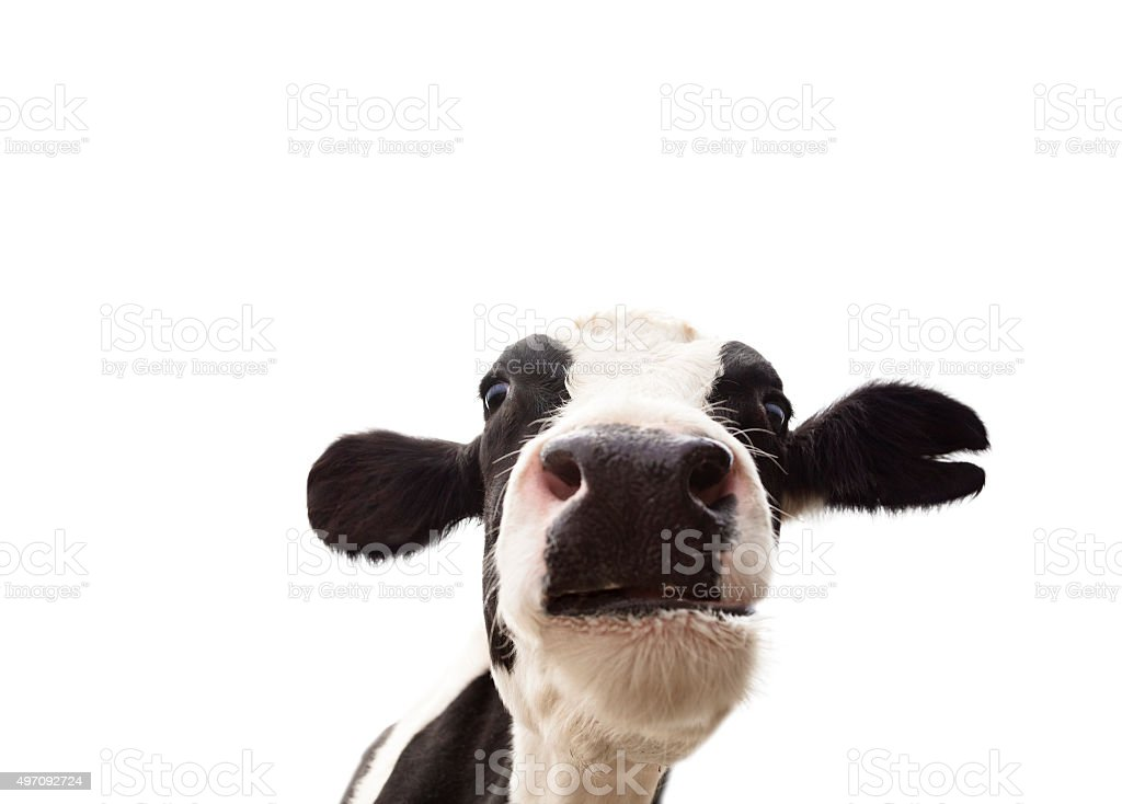 closeup  cow head isolated on  white background stock photo