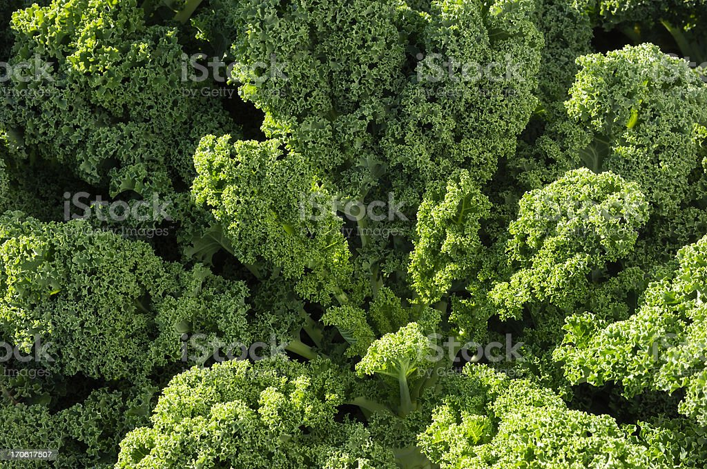 Close-up Curly Kale Growing in Field royalty-free stock photo