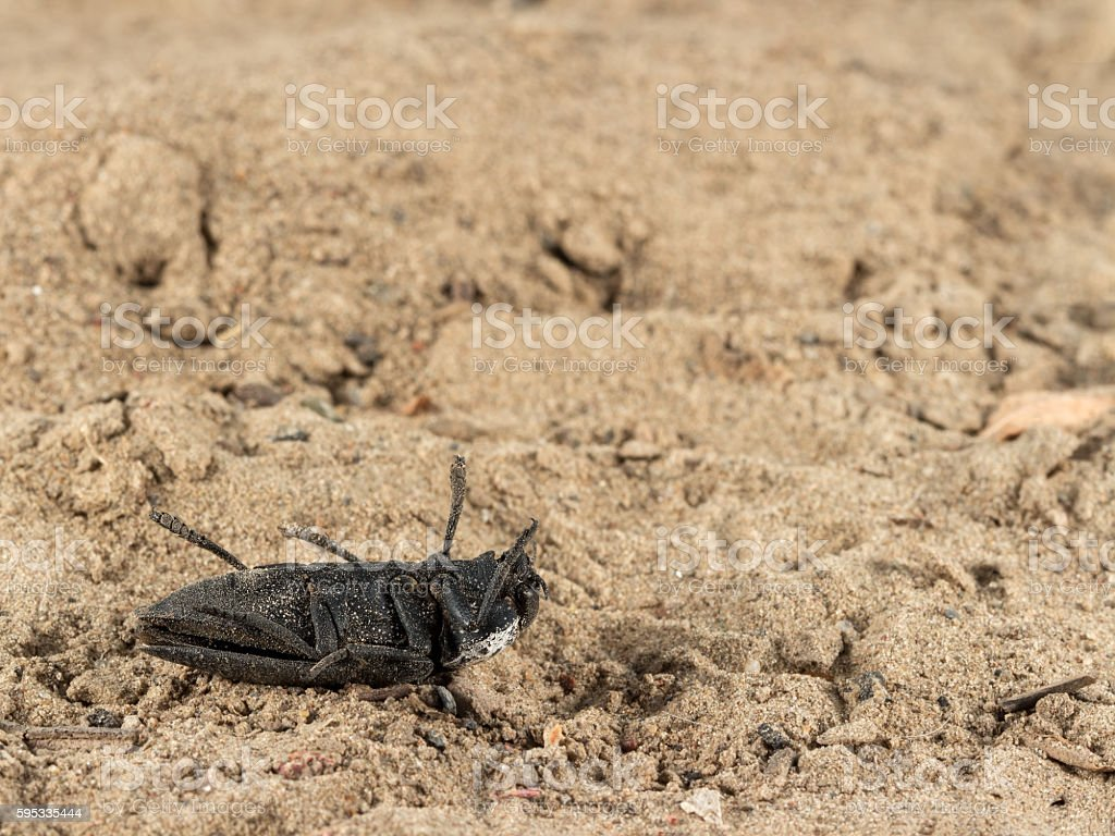 Closeup dead black beetle on sand. Fight with insect. Extermination. stock photo