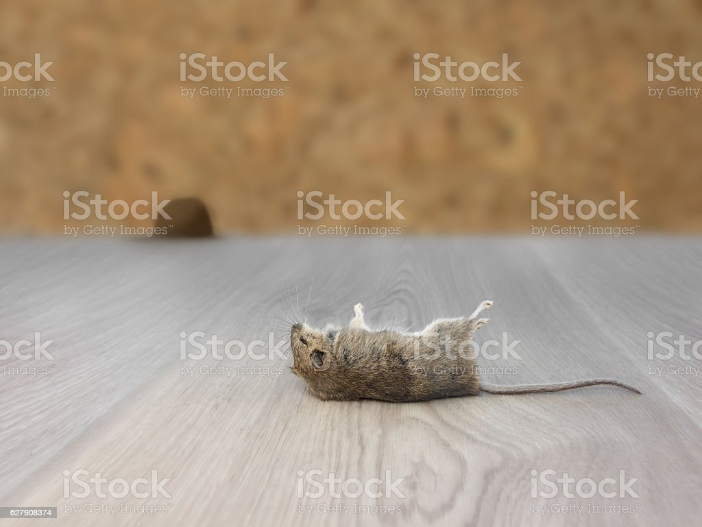Closeup dead rodent  in apartment house on background of wall stock photo
