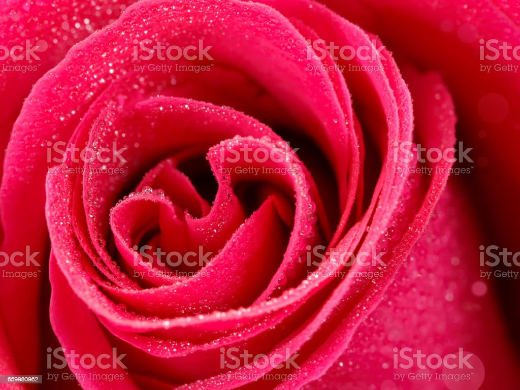closeup deeply pink rose flower with dew drops. shallow depth of field stock photo