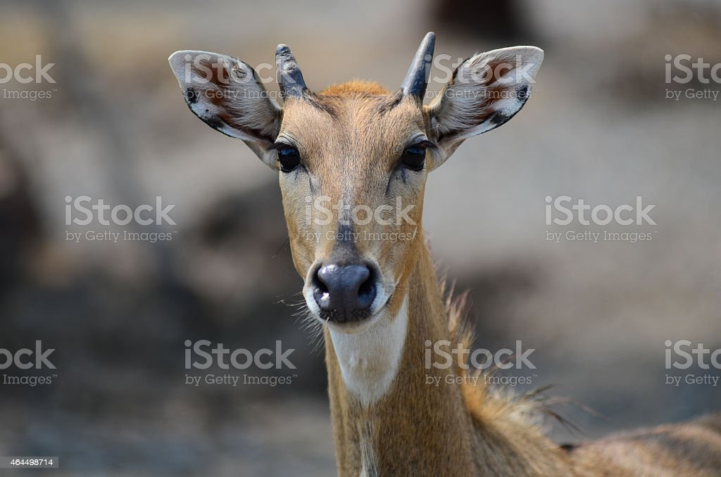 close-up deer in nature at thailand. stock photo