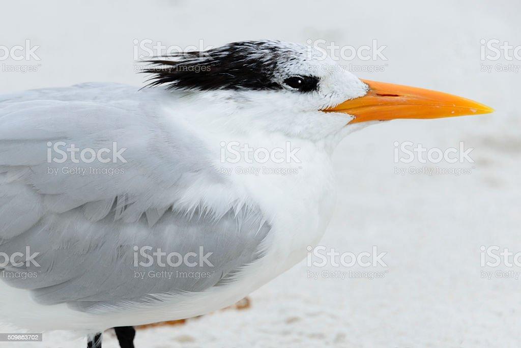 Close-up detail of a Royal Tern stock photo